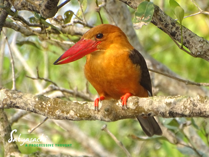 Brown-winged kingfisher<br />খয়রাপাখ মাছরাঙা