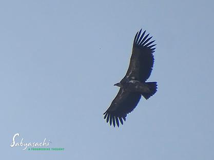 Himalayan vulture<br />হিমালয়ী গৃধিনী