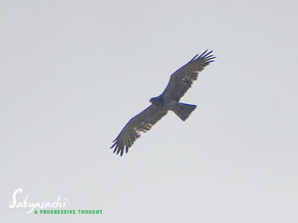 Short-toed snake eagle<br />খাটোআঙুল সাপঈগল